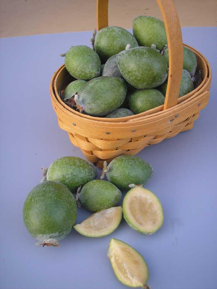 Pineapple Guava Quot Mammoth Quot Trees Of Joy